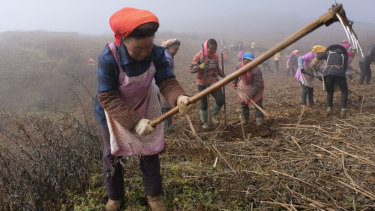 Local women are organised to harvest artichokes on a farm in Zhuanshanbao Village, Zhaotong City of Yunnan Province. They are paid $10 a day for eight  hours of work.