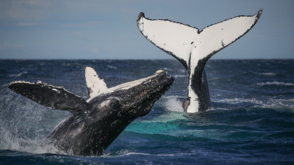 Whale watchers flip out: first boats sail as Sydney season tails off