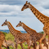 Like elephants, grandmother giraffes spend years caring for young