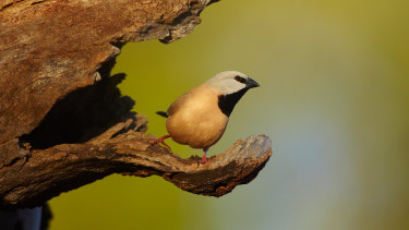 The black-throated finch ... the verdict on the proposed Adani mine project's effect on the bird is due on Friday.