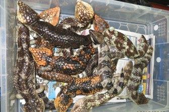 Shingleback lizards often die on long-haul journeys, though it only takes a few survivors to generate a profit.