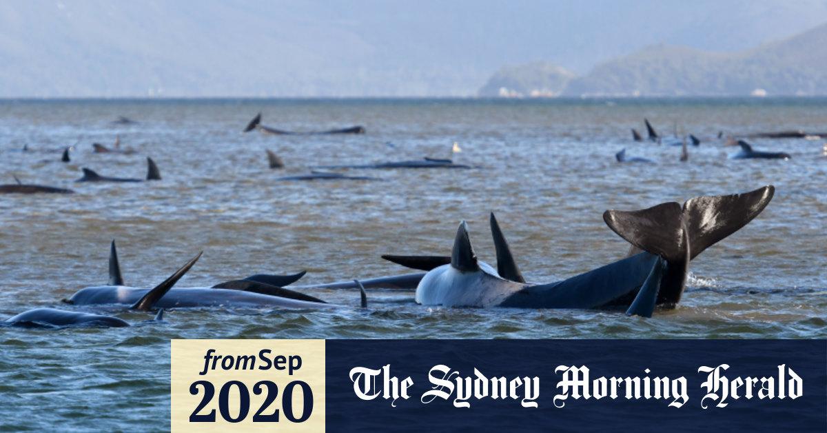 380 pilot whales dead, 30 still stuck after strandings on Tasmanian coast