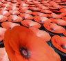 Poppy sales go virtual amid COVID-19 battleground