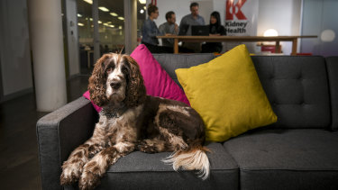 Tommy, the English springer spaniel, is the office dog at Kidney Health Australia.
