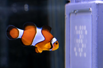 """Never anything good on."" A clownfish watches the UQ-designed UV display"