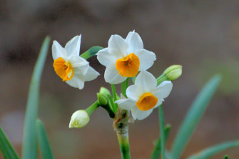Narcissus tazetta, also known as Paperwhite,