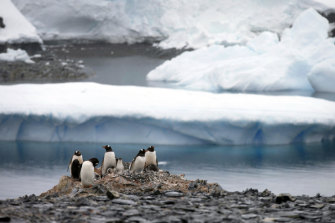 Gentoo penguins stand on rocks in Antarctica.