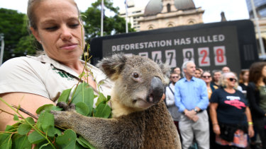 Rebecca Toombes from Wildlife HQ holds a koala during protest against deforestation earlier in the week.