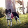 Rescue dog Maya got a second chance at life with owner Romane Cristescu, who trained her to detect koalas.