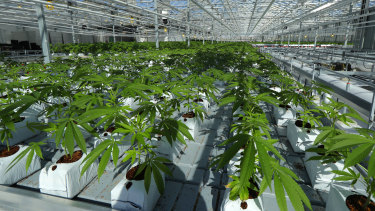 A massive tomato greenhouse renovated to grow pot in Delta, British Columbia,  operated by Pure Sunfarms.