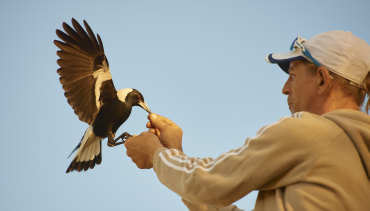 Bird handler Paul Mander trains one of eight magpies for the film Penguin Bloom.