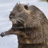 A rodent.