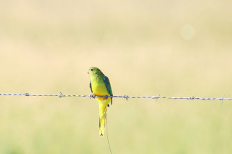 An infection could kill off the last few remaining orange-bellied parrots.
