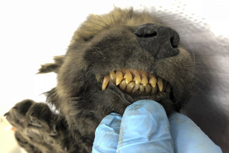 The fur, skeleton, teeth, head, lashes and whiskers of the pup, named Dogor, are still intact.