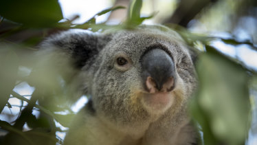Koala populations are under extreme threat.