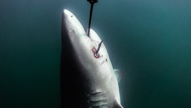 A shark hooked on a drum line off the coast of Magnetic Island in the Great Barrier Reef Marine Park earlier this year.