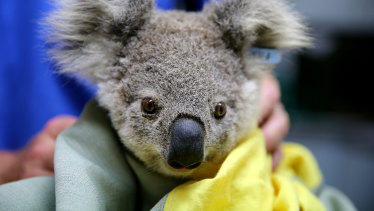 A koala named Pete from Pappinbarra is treated at Port Macquarie Koala Hospital after fires in November.