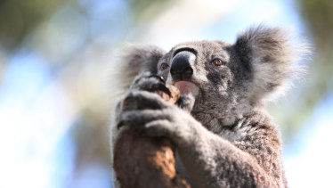 Koalas are facing extinction if their habitat is not protected.