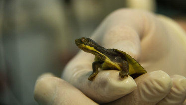 A Bellinger River snapping turtle hatchling at Taronga Zoo.