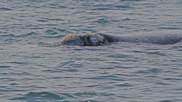 A grey southern right whale spotted near Portland, Australia, years ago.