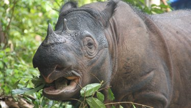 There are fewer than 80 Sumatran rhinos left in the world, with some estimates as low as 30.