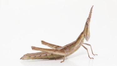 Key's matchstick grasshopper.