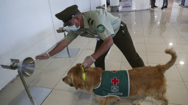 A police handler and his COVID-19 sniffer dog give a demonstration at the Arturo Merino Benítez International Airport in Santiago, Chile.