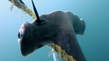Baited drum lines were to blame for the deaths of hammerhead sharks off the coast of Magnetic Island in the Great Barrier Reef Marine Park in August.