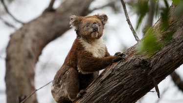 Koala habitat was devastated in the 2019-20 Black Summer bushfires. The Federal Environment Minister Sussan Ley says a new population census is needed to help the species recover.