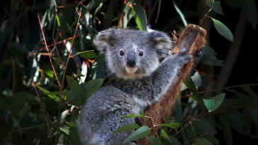 The Coalition has introduced to parliament proposed changes to wind back koala protections on private rural land.