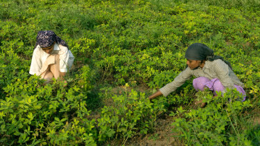 Women work on ground-nut crop harvesting near Pune, Maharashtra, India.