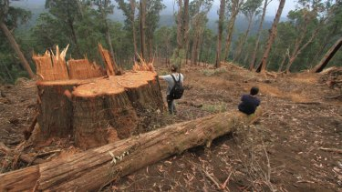 A logging coupe in East Gippsland that contained greater glider habitat, according to spotlighting surveys.