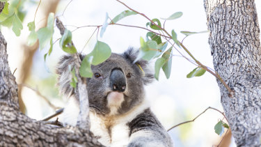 Koalas were among the wildlife to receive OEH grants - but the share of grant funds going to the environment has declined in recent years.