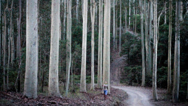 A person walks through tall trees in the Corunna State Forest.