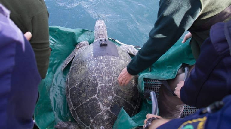 Jervis, a 100-kilogram green turtle, was released into Sydney Harbour following a six-week recovery in Taronga Wildlife Hospital.