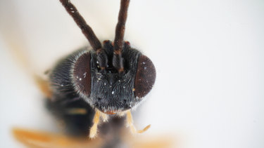 The Xenomorph wasp, named after the killer creature in the Alien franchise.