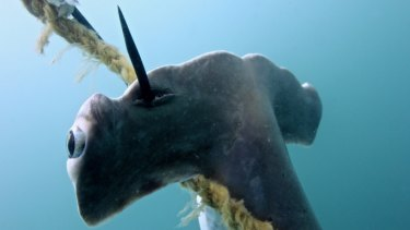 Baited hooks were to blame for the deaths of the sharks.