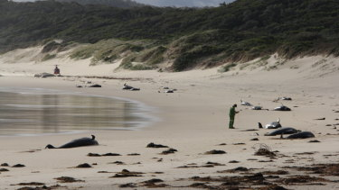 Whale carcasses were found several days ago on the remote Rame Beach in  Croajingolong National Park.
