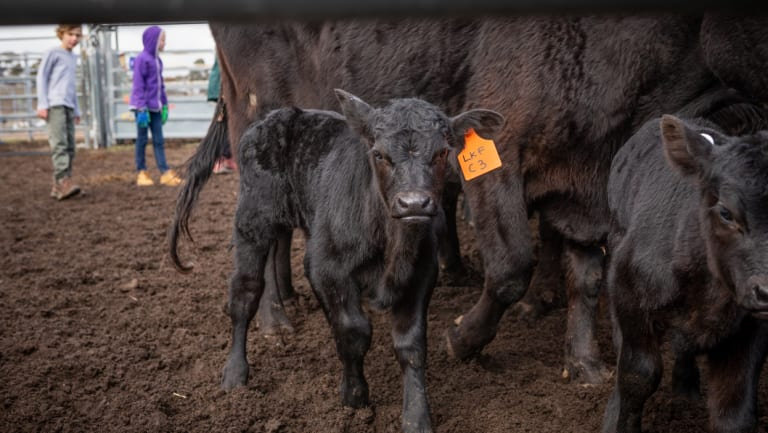 Cameron Thwaite, 9, and Holly Starling, 10, watch cows after they been tagged and treated.