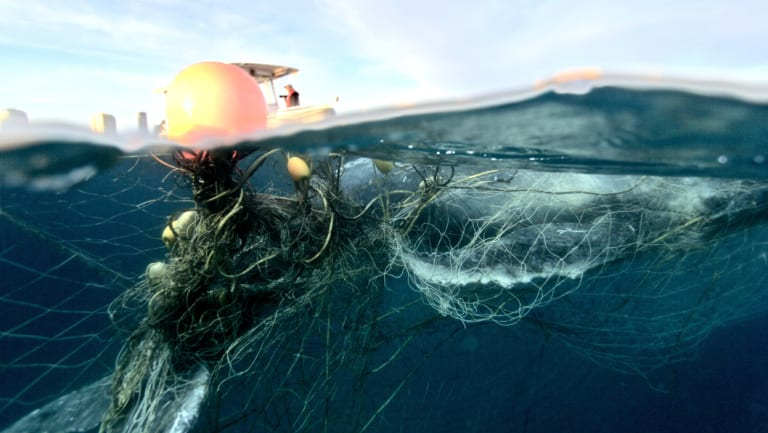It is believed the mother and her calf had been caught in the net, but the mother had freed itself when rescuers arrived.
