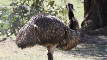 More than a year after it was shot, an emu moving around the Cotter area still has an arrow protruding from its body