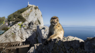 A Barbary macaque, the only free-roaming monkeys in Europe, with the Rock of Gibraltar looming in the background.