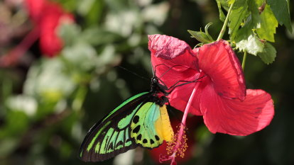 What Trevor Lambkin found after 40 years of looking for butterflies