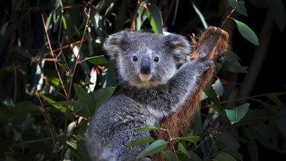 Liberals back down on koalas after Barilaro bluster