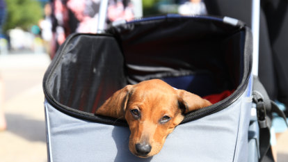 Hundreds call for pets to be let on Brisbane buses, trains and ferries