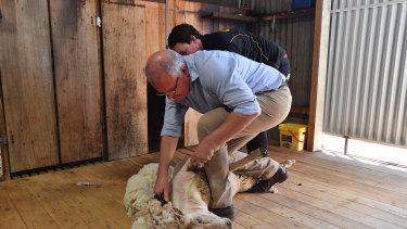 Scott Morrison shears a sheep at a farm outside Dubbo on Saturday.