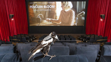 Promoting the film: one of the trained magpies in a cinema.