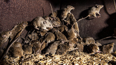 Despite multiple efforts to lay bait, there are still many mice at Mr McCutcheon's farm.