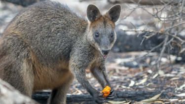 Thousands of kilograms of carrots and sweet potato are being delivered to endangered Brush-tailed Rock-wallabies in NSW.