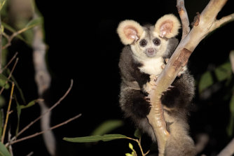 The greater glider is listed in Victoria as threatened with extinction.
